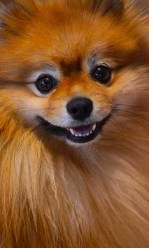 Pomeranian Wallpaper screenshot 8