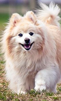 Pomeranian Wallpaper screenshot 10