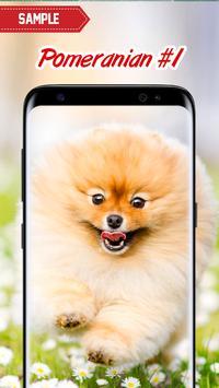Pomeranian Wallpaper screenshot 1