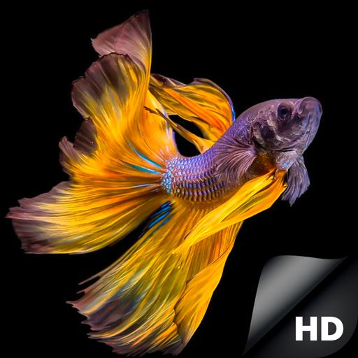 Hd Betta Fish Wallpapers For Android Apk Download Betta fish wallpaper gif sign in fish
