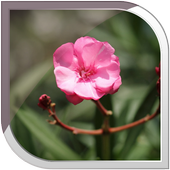 Oleander Live Wallpaper icon