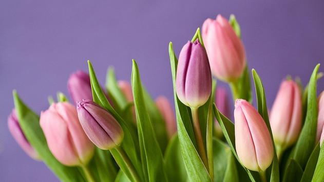 Pink Tulips Wallpaper Apk Screenshot