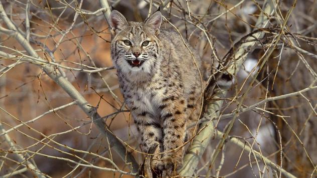 Wildcat HD Wallpaper poster