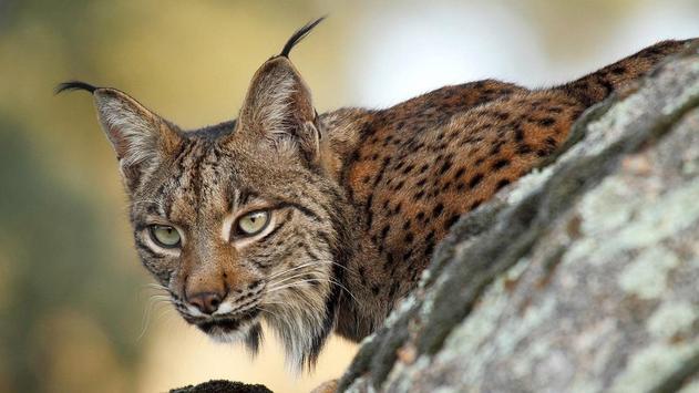 Wildcat HD Wallpaper screenshot 2