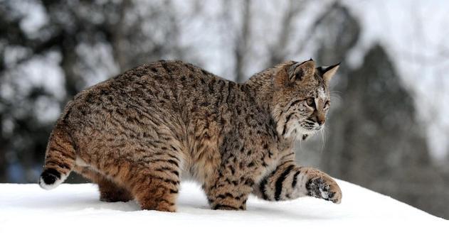 Wildcat HD Wallpaper screenshot 5