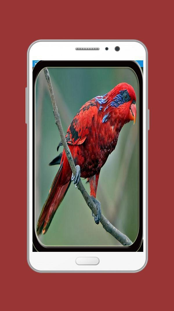 Burung Nuri Gacor For Android Apk Download