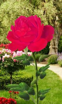 Rose Blooming Live Wallpaper poster