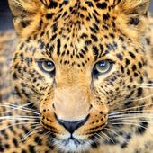 pretty cheetah wallpaper icon