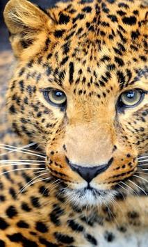 pretty cheetah wallpaper poster