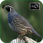 Quail Bird Sounds + Ringtones icon