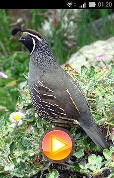 Quail Bird Sounds + Ringtones screenshot 2