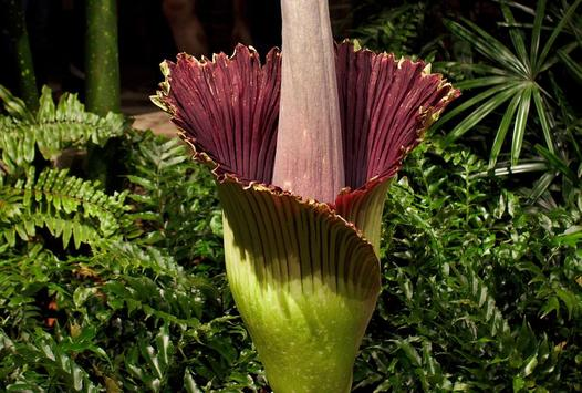 Corpse Flower Bloom screenshot 6