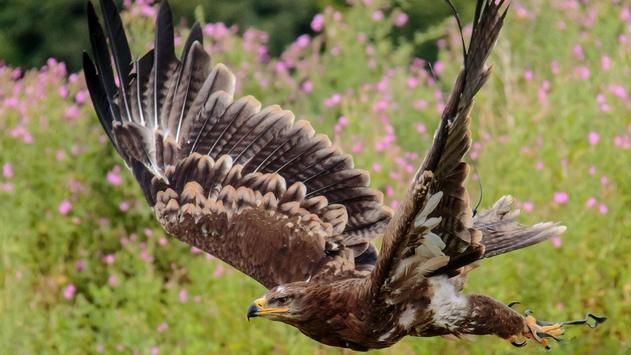 Eagle Bird Wallpaper screenshot 4