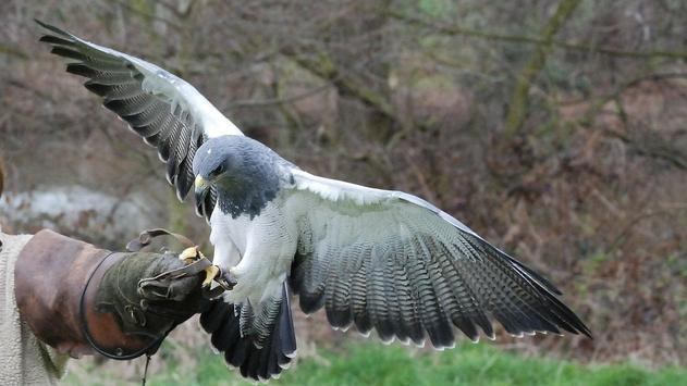 Eagle Bird Wallpaper screenshot 5