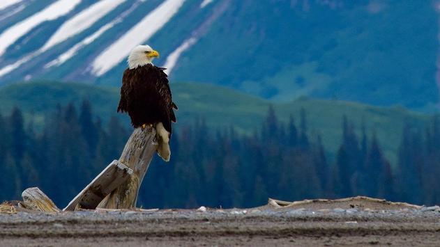 Eagle Bird Wallpaper screenshot 8
