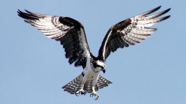 Eagle Bird Wallpaper screenshot 9