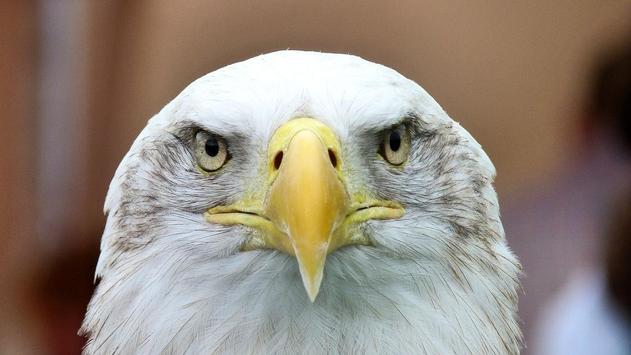 Eagle Bird Wallpaper poster