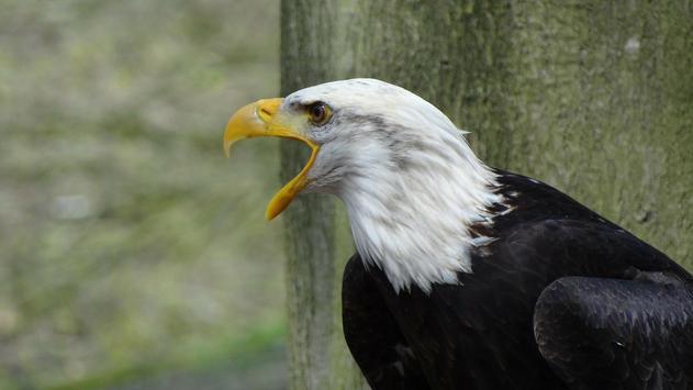 Eagle Bird Wallpaper screenshot 1