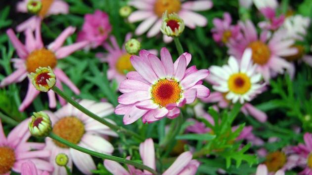 Daisy Flower Wallpaper screenshot 2