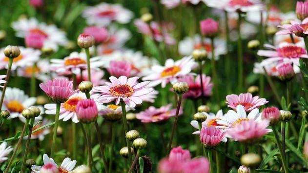 Daisy Flower Wallpaper screenshot 3