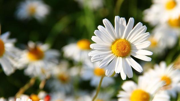Daisy Flower Wallpaper screenshot 4