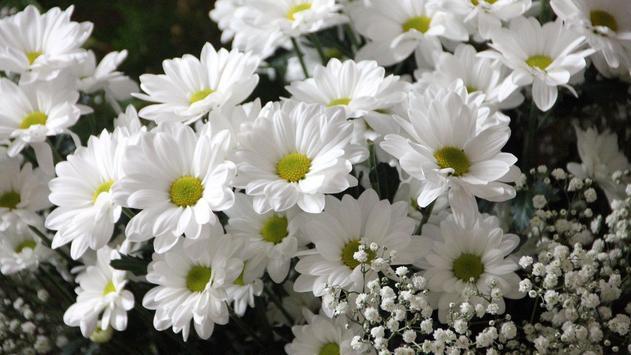 Daisy Flower Wallpaper screenshot 7
