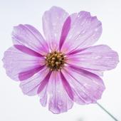 Flowers Wallpaper icon