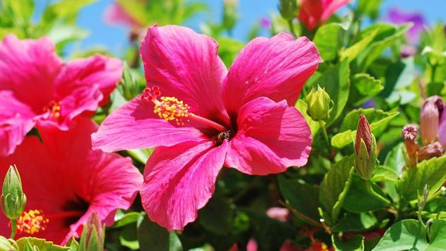 Hibiscus Flower Wallpaper poster