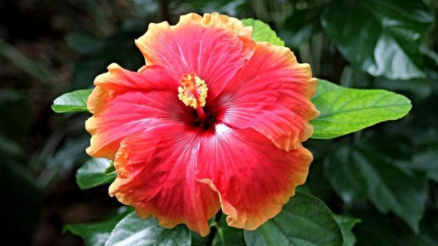Hibiscus Flower Wallpaper apk screenshot