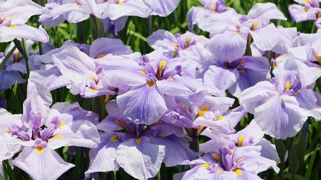 Iris Flower Wallpaper poster