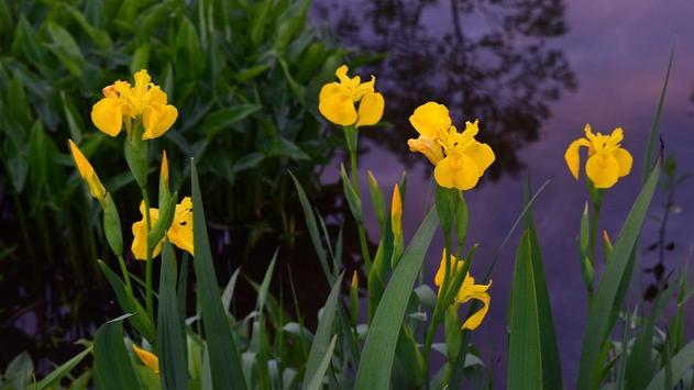Iris Flower Wallpaper apk screenshot