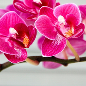 Orchid Flower Wallpaper icon