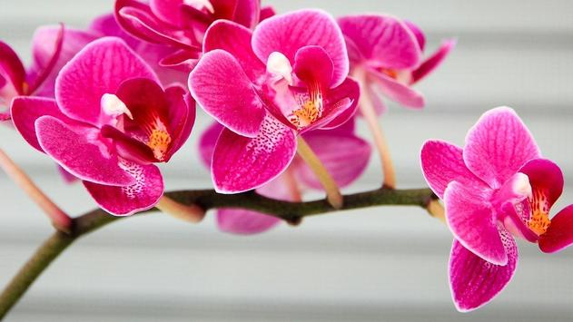 Orchid Flower Wallpaper poster