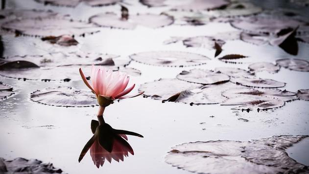 Lotus Flower Wallpaper apk screenshot