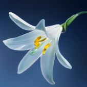 Lily Flower wallpaper icon