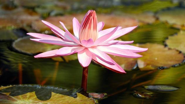 Lily Flower wallpaper apk screenshot