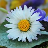 Wild Flower Wallpaper icon