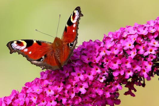 Butterfly HD Images screenshot 1
