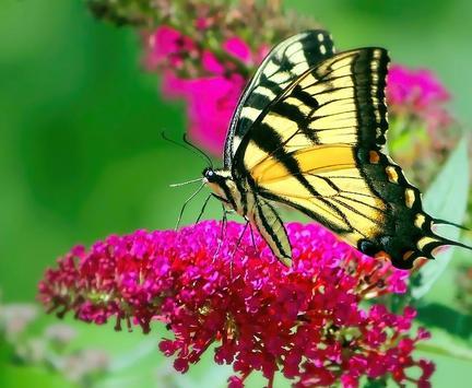Butterfly HD Images screenshot 2