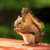 Squirrel HD Images icon