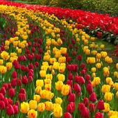 Tulip Wallpaper icon