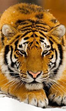 siberian tiger wallpaper poster