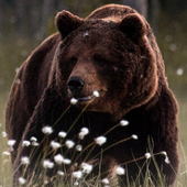 grizzly bear wallpapers icon
