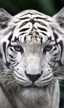 white tigers wallpaper poster