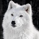 arctic wolf wallpapers APK