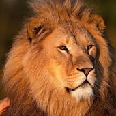 king of lion backgrounds icon