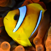 Yellow Fish Live Wallpaper icon