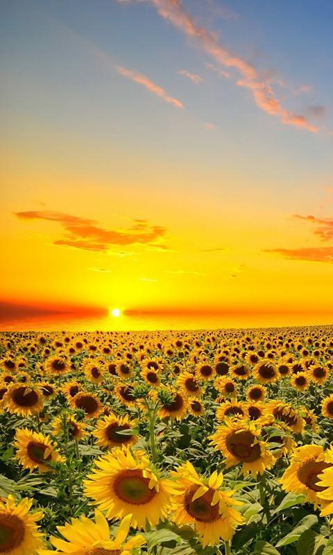 Download 8700 Koleksi Gambar Wallpaper Bunga Matahari HD Terbaik