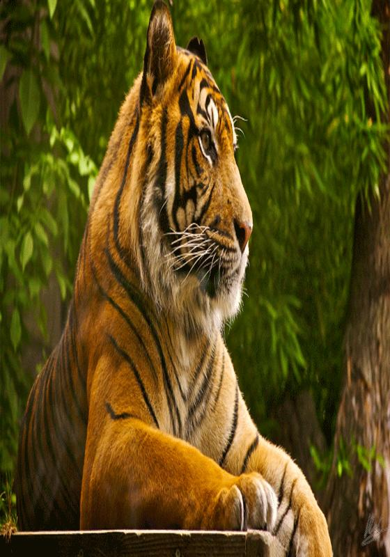 Tiger Wallpaper Full Hd For Android Apk Download