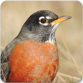 Robin Bird Sounds : Robin Bird Singing icon